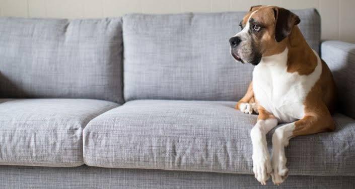 cachorro sofa prego e martelo